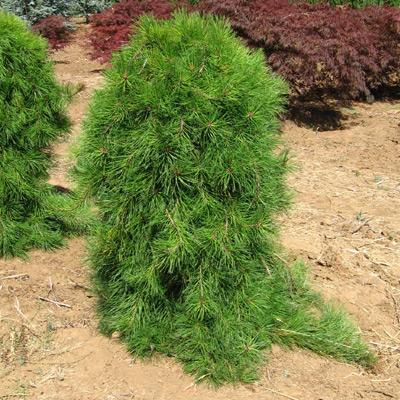 Сосна густоцветковая «Пендула» (Pinus densiflora «Pendula»)