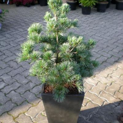 Сосна мелкоцветковая «Темпелхоф» (Pinus parviflora «Tempelhof»)