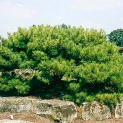 Сосна кедровая стланиковая, кедровый стланик (Pinus pumila)
