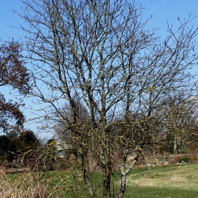 Рябина Мужо (Sorbus mougeotii).