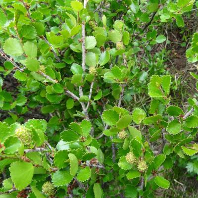 Береза карликовая «Glencarry» (Betula nana «Glencarry»)