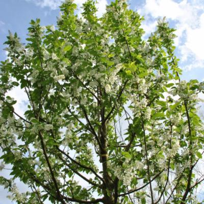 Черемуха обыкновенная «Альберти» (Prunus padus «Albertii»)
