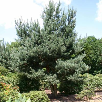 Сосна обыкновенная «Тип Норвеген» (Pinus sylvestris «Typ Norwegen»)