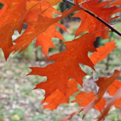 Дуб красный, северный (Quercus rubra)
