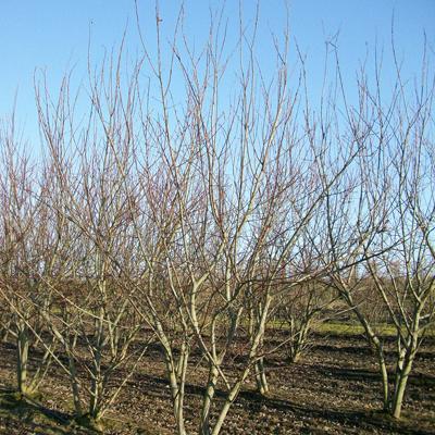 Ива козья «Мас» (Salix caprea «Mas»)