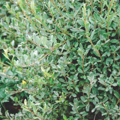 Ива ползучая (Salix repens)