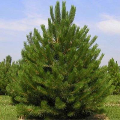 Сосна черная «Сосна чёрная австрийская» (Pinus nigra subsp. nigra = P. nigra var. austriaca)