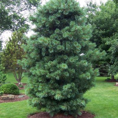 Сосна кедровая корейская, кедр корейский (Pinus koraiensis)