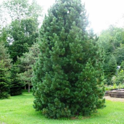 Сосна румелийская, балканская (Pinus peuce)