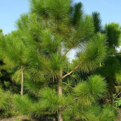 Сосна желтая  ( Pinus ponderosa )