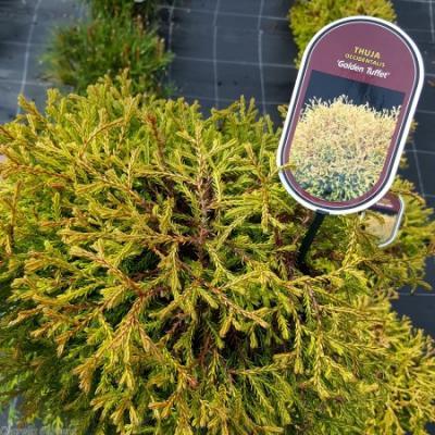 Туя западная «Голден Таффет» (Thuja occidentalis «Golden Tuffet»)