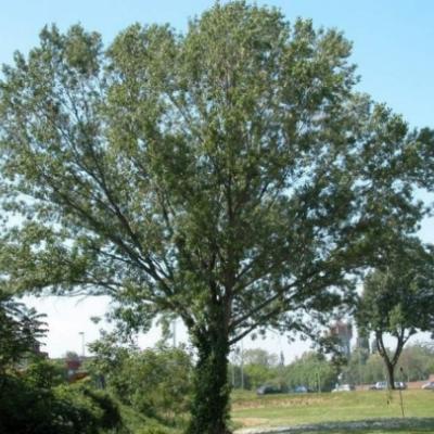 Тополь черный (Populus nigra)
