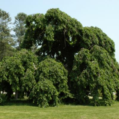 Вяз шершавый, голый, ильм горный (Ulmus glabra)