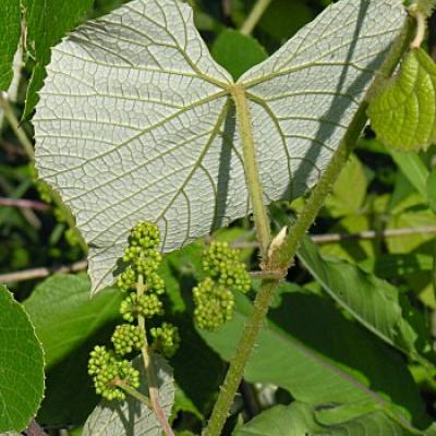 Виноград меченосный ( Vitis aestivalis ).