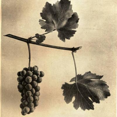 Виноград белеющий ( Vitis candicans ).