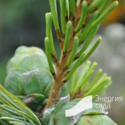 Pinus parviflora «Ryu-ju»
