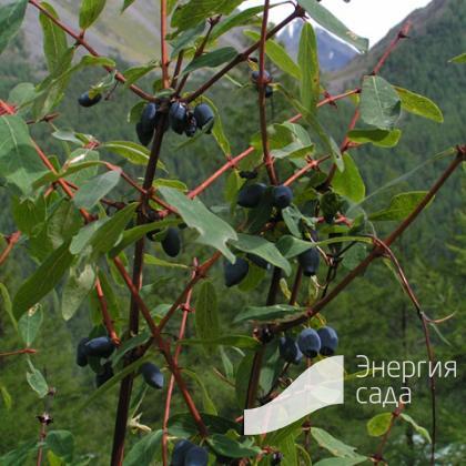 Жимолость алтайская (Lonicera altaica).