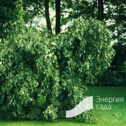 Ольха серая «Пендула» (Alnus incana «Pendula»)