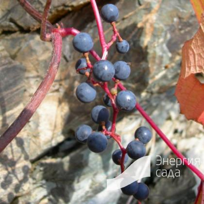 Виноград Куанье ( Vitis coignetiae ).