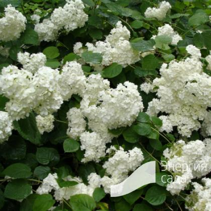 Гортензия древовидная «Грандифлора» (Hydrangea arborescens «Grandiflora»).