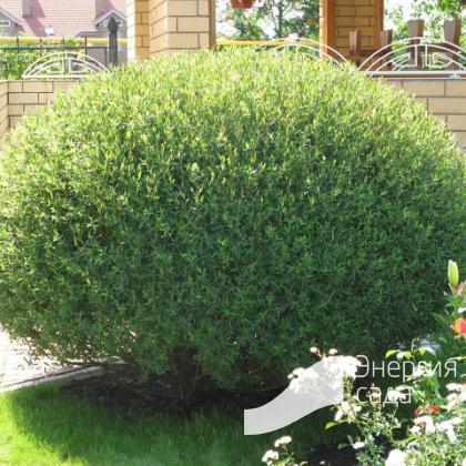 Ива «Шаровидный карлик» (Salix «Sharovidny Karlik»)