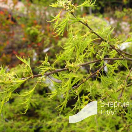 Береза повислая, бородавчатая, плакучая «Тростс Дварф» (Betula pendula «Trost's Dwarf»)