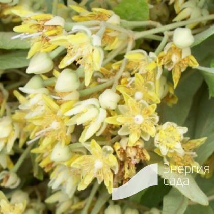 Липа маньчжурская (Tilia mandshurica)
