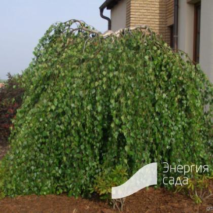 Береза повислая, бородавчатая, плакучая «Юнги» (Betula pendula «Youngii»)
