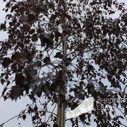 Береза повислая, бородавчатая, плакучая «Пурпурея» (Betula pendula «Purpurea»)