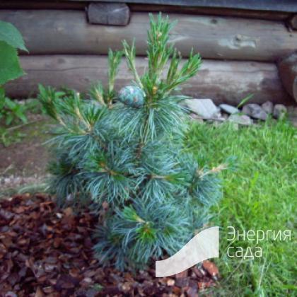 Сосна мелкоцветковая «Шунс Бансай» (Pinus parviflora «Schoon's Bonsai»)