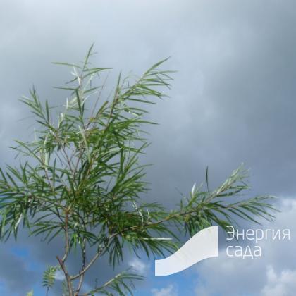 Ива «Шверина Улучшенная» (Salix «Schwerina Ulutschennaja»)