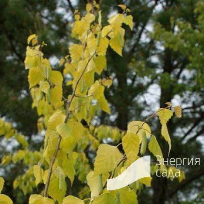 Береза повислая, бородавчатая, плакучая «Golden Cloud» (Betula pendula «Golden Cloud»)