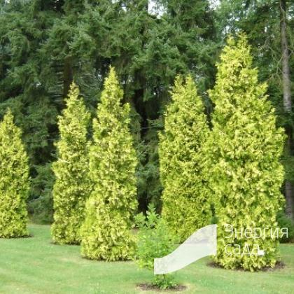Thuja occidentalis «Aurescens»
