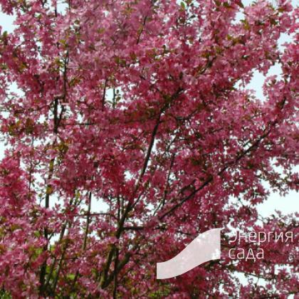 "Яблоня «Кокцинелла» (Malus «Coccinella» =""Courtarou»)"