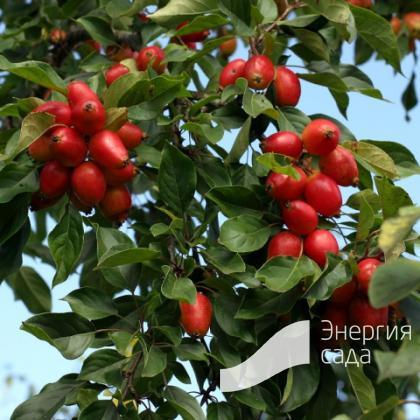 Яблоня декоративная (Malus)