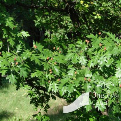 Боярышник перистонадрезанный (Crataegus pinnatifida)