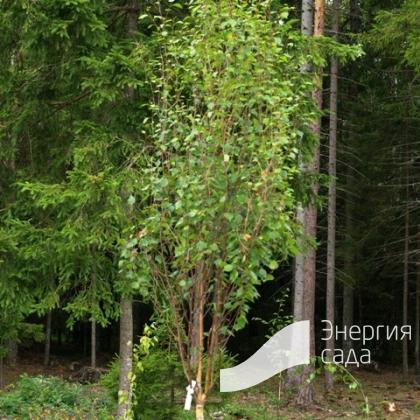 Береза повислая, бородавчатая, плакучая «Obelisk» (Betula pendula «Obelisk»)