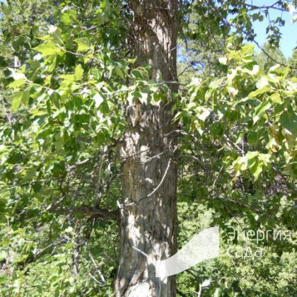 Тополь бальзамический (Populus balsamifera)