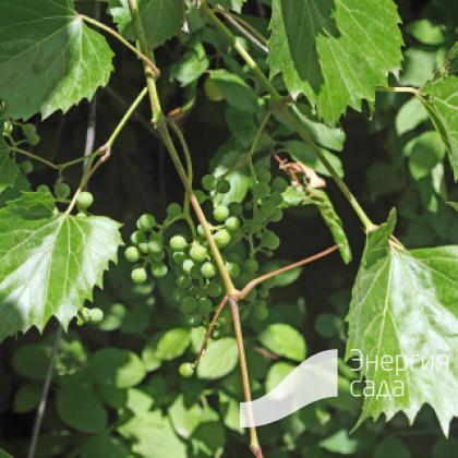Виноград кленолистный ( Vitis acerifolia