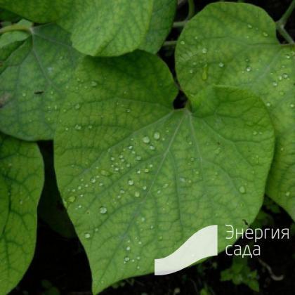 Кирказон маньчжурский (Aristolochia manshuriensis)