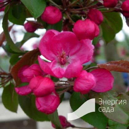 Яблоня декоративная «Мокум» (Malus «Mokum»)