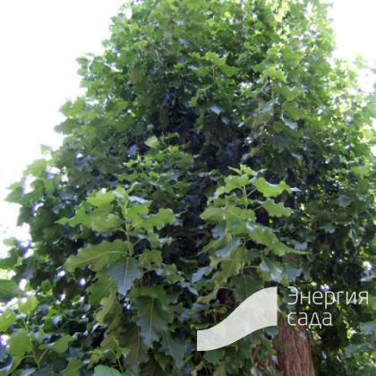 Тополь берлинский (Populus berolinensis)