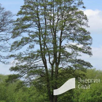 Ольха черная, клейкая (Alnus glutinosa)