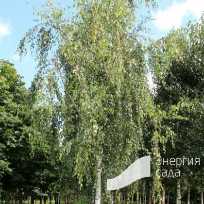 Береза повислая, бородавчатая, плакучая «Тристис» (Betula pendula «Tristis»)