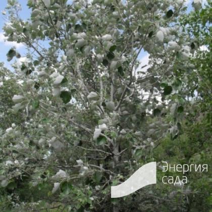 """Тополь белый, серебристый """"Ракет"""" (Populus alba """"Raket"""")"""