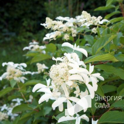 """Гортензия метельчатая """" Бридал Вейл» (Hydrangea paniculata «Bridal Veil»)."""