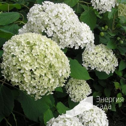 Гортензия древовидная «Баунти» Hydrangea arborescens «Bounty»)