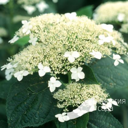 Гортензия древовидная «Дардом» = «Уайт Дом» (Hydrangea arborescens «Dardom» = «White Dome»).