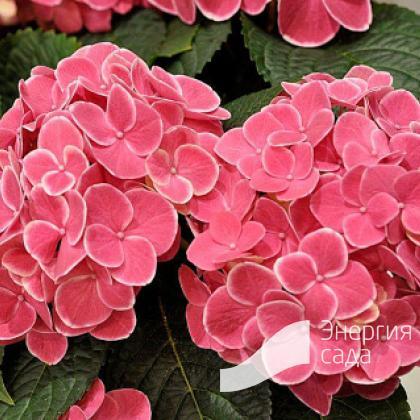 Гортензия крупнолистная, садовая (Hydrangea macrophylla).