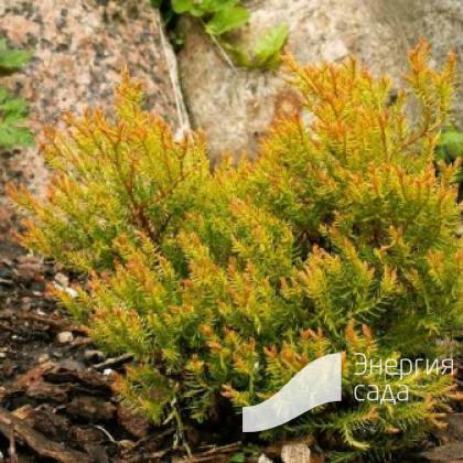 Thuja occidentalis «Cloth of Gold»